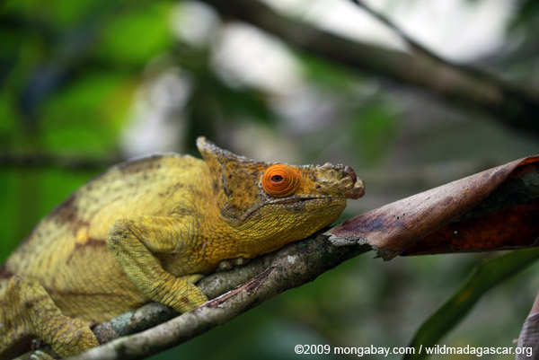 Parson's chameleon (Calumma parsonii) [yellow and orange]