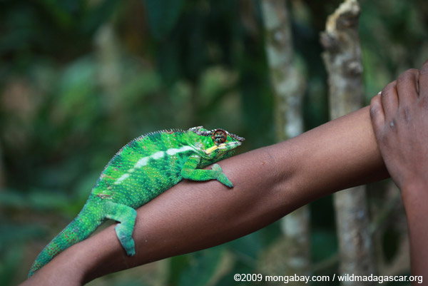 Male panther chameleon (Furcifer pardalis) on a man's arm