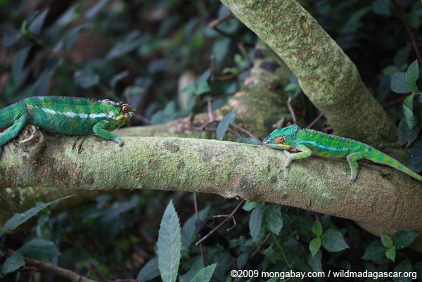 Male panther chameleons (Furcifer pardalis)