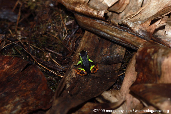 Mantella madagascariensis (Painted Mantella)