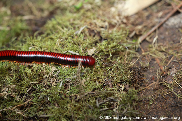 Madagascar Fire Millipede