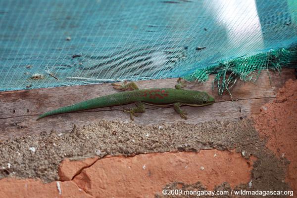 Lined Day Gecko (Phelsuma lineata)