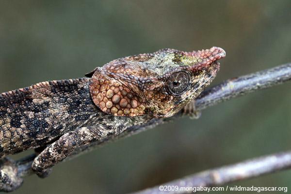Short-horned Chameleon (Calumma brevicorne)