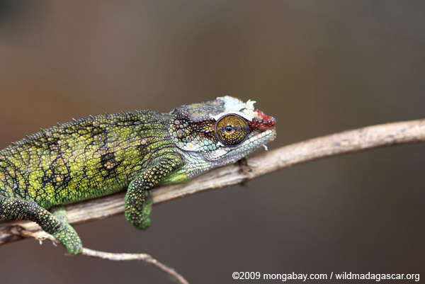 Jeweled Chameleon (Furcifer campani) [female]