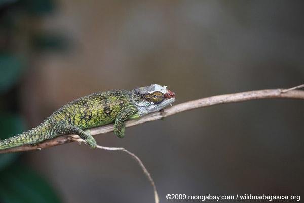 Jeweled Chameleon (Furcifer campani) [female]