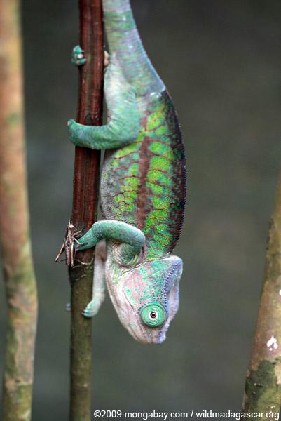 Flat-casqued Chameleon (Calumma globifer) (female)