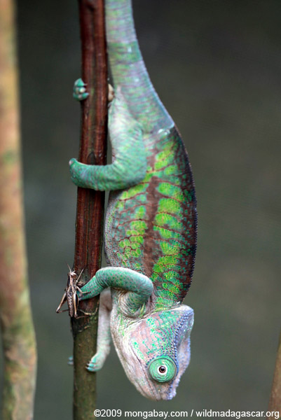 Flat-casqued Chameleon (Calumma globifer) (female)