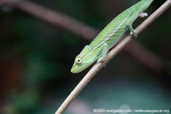 Perinet Chameleon (Calumma gastrotaenia)