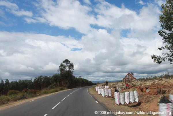 Eucalyptus plantation in Madagascar