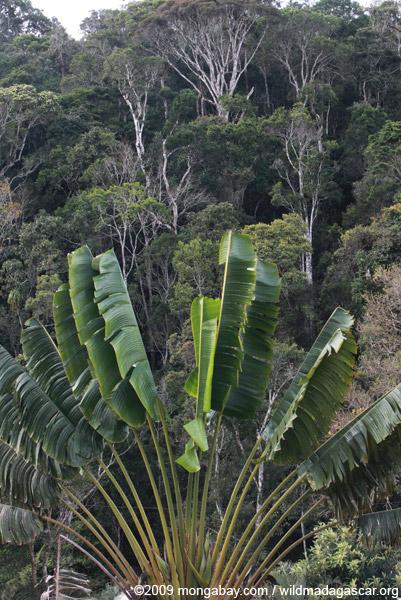 Traveler's palm in Madagascar