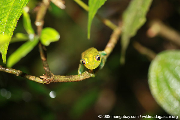 Picture: Green Bright-eyed Frog (Boophis viridis)