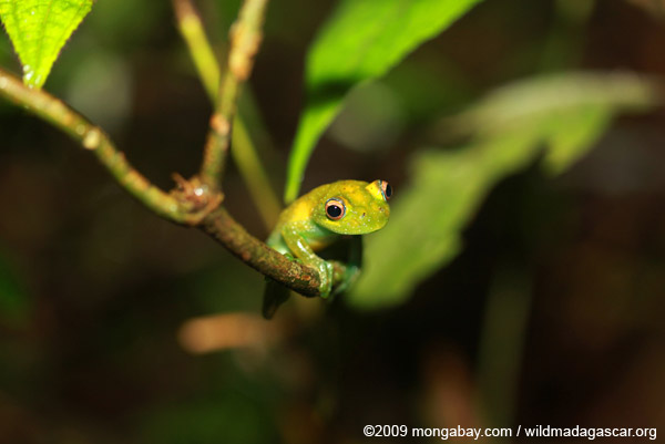 Green bright-eyed frog (Boophis viridis) in Madagascar. Scientists have been warning for decades of a looming possible mass extinction if business as usual continues. Photo by: Rhett A. Butler.