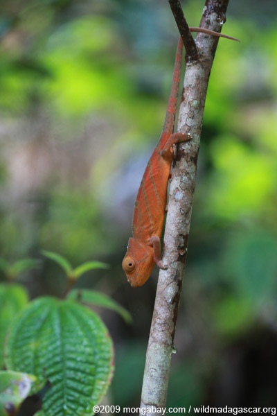 Parson's chameleon (Calumma parsonii) [red-orange with green stripes]