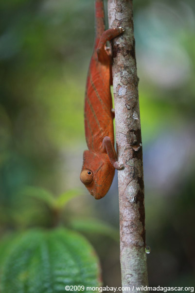 Parson's chameleon (Calumma parsonii) [red-orange with green stripes]