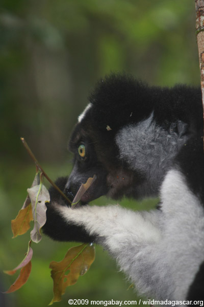 Indri feeding on leaves