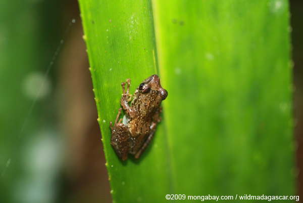 Gephyromantis leucomaculatus