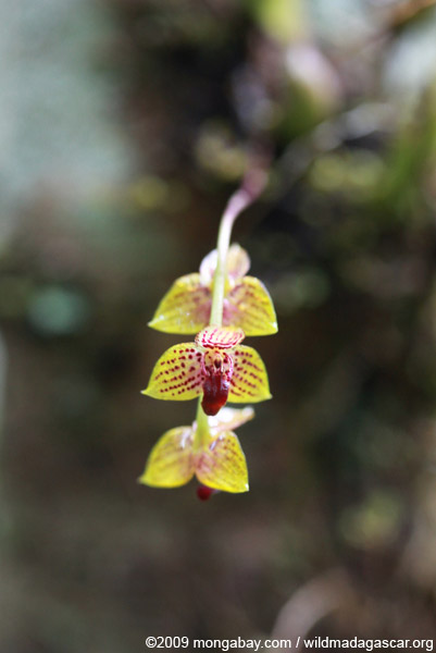 Yellow, maroon and white orchid (Bulbophyllum sp.)