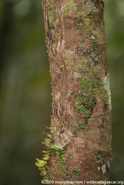 Mossy Leaf-tail Gecko (Uroplatus sikorae)