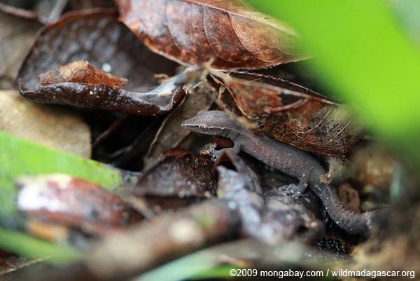 Ebenavia inunguis gecko in the litter of a bird-nest fern