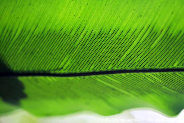 Underside of a birdnest fern