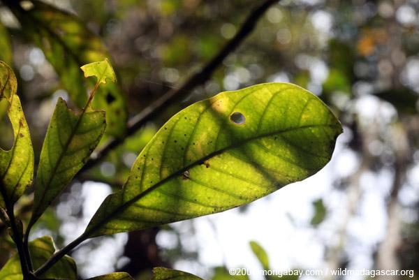 Rainforest leaf in Madagascar