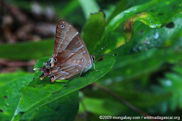Saribia buttefly (Lycaenidae), not a Skipper butterfly (Hesperioidea)