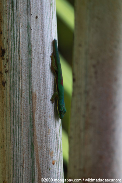Lined Day Gecko (Phelsuma lineata) in a Pandanus palm