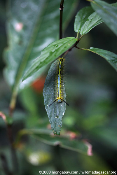 Black, yellow, and blue caterpillar