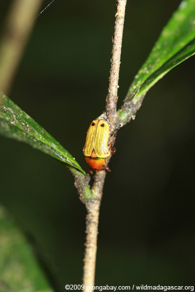 Yellow and orange beetle (Coptemia celata)