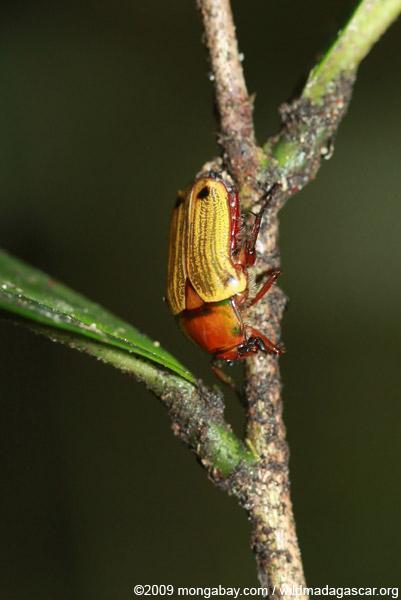 Yellow and orange beetle (Coptemia celata)