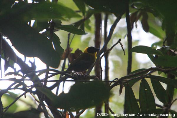 Nelicourvi Weaver (Ploceus nelicourvi)