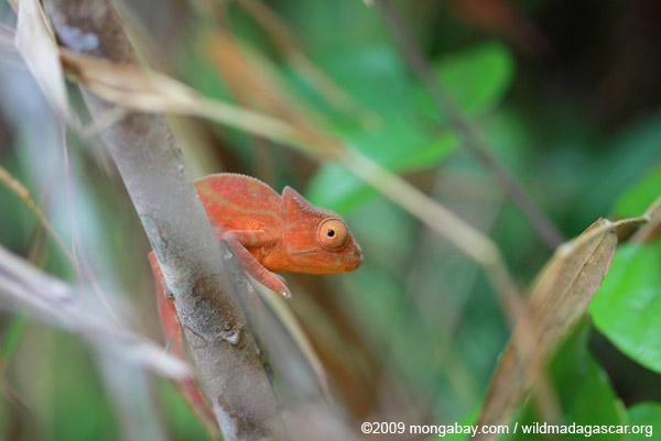 Orange Parson's chameleon (juvenile)
