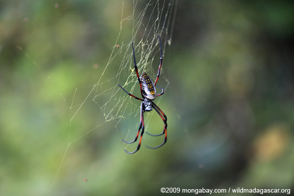 Madagascar Orb Weaving Spider
