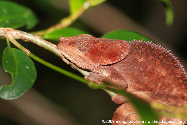 Sleeping reddish-brown Short-horned Chameleon (Calumma brevicorne)