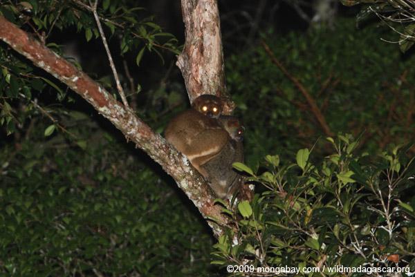 Eastern Woolly Lemurs (Avahi laniger)