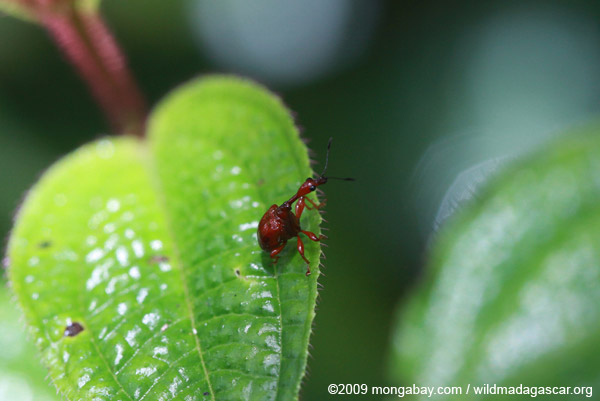 Juvenile insect, not the giraffe-neck weevil