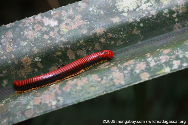 Red millipede in Madagascar