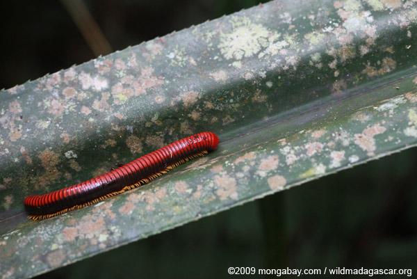 Red millipede in Madagascar