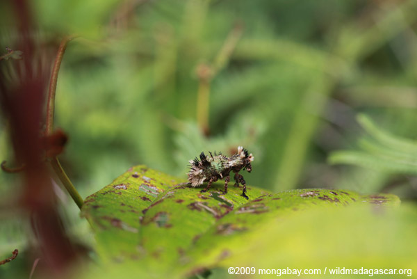 Hairy Lithinus weevil (Curculionidae)