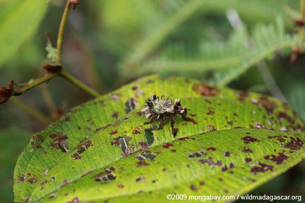 Hairy Lithinus weevil (Curculionidae)