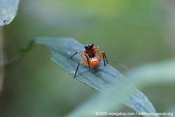 Orange and black Reduviidae juvenile bug, with the abdomen sticking up to look like a fierce mantis