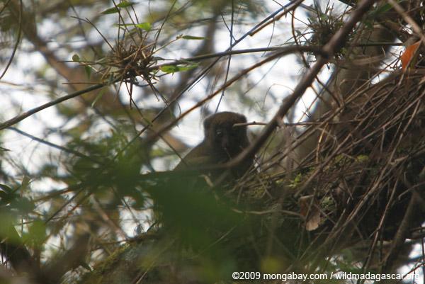 Eastern bamboo lemur
