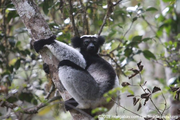 Indri in Perinet
