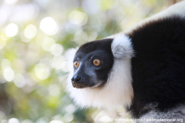 Photo: the critically endangered black-and-white ruffed lemur