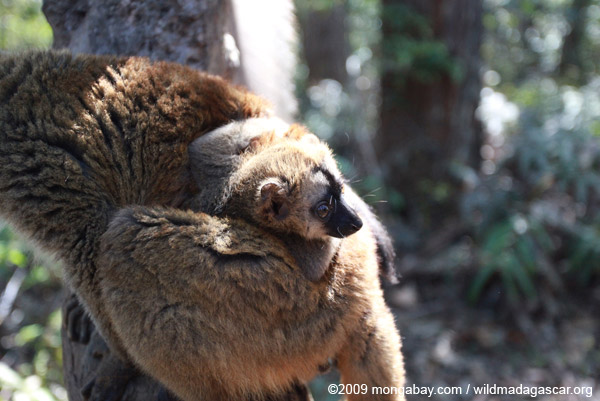 Mother Common Brown Lemur (Eulemur fulvus) with baby