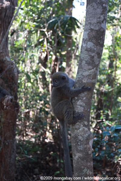 Gray Gentle Lemur (Hapalemur griseus)