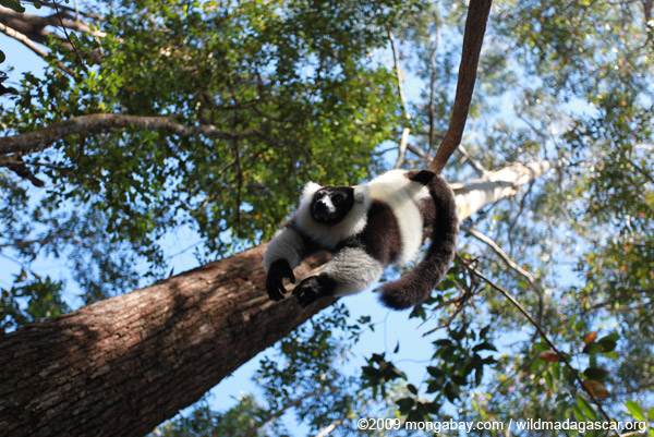 Black-and-white Ruffed Lemur hanging in a tree