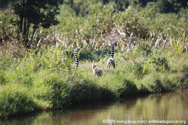 Troop of ringtails