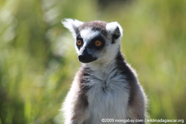 Ringtail lemur (Lemur catta)
