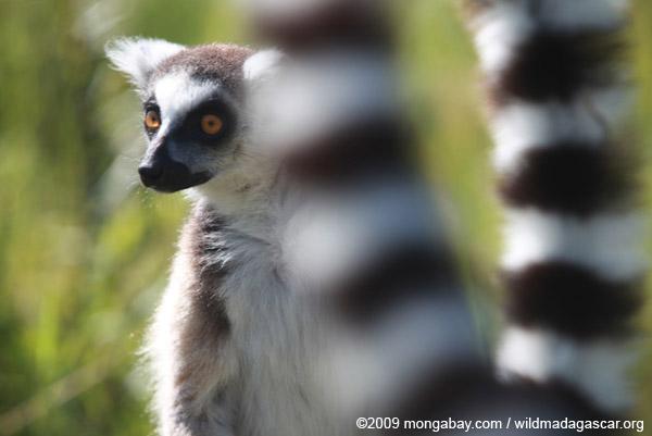 Ring-tail lemur (Lemur catta)